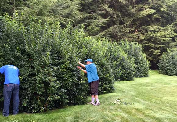Les Arbres crew members pruning and reshaping overgrown ornamental shrubs
