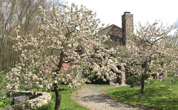 two flowering summertime apple trees